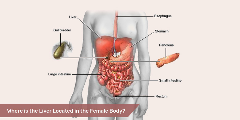Where Is The Liver Located In The Female Body?