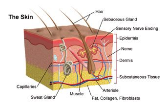 What is Skin, Structure of Skin