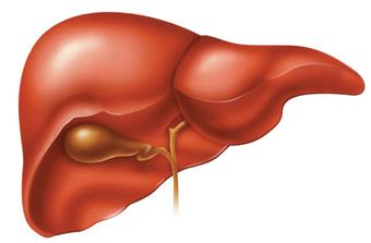 Human Liver Anatomy, What is A Liver?