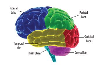 Human Brain Facts about Parts