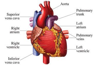 Heart Diseases, Functions and Structure